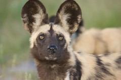 Wild Dog Portraits