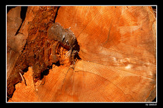 My Age..........? (Bonell Photography (dasbull)) Tags: wood old trees red brown detail closeup washington log angle cut timber border perspective logging panasonic rings age chip 100 cracks oceanshores douglasfir fz50 sawed hoquiam timberindustry dasbull ronbonell