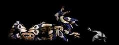 "Medusa (""Ojo Errante"") Tags: woman man stone turn photomanipulation photoshop studio greek mujer skin head snake attack manipulation culebra poison viper medusa mythology hydra veneno venomous venom piedra serpiente gorgon mitologia griega gorgona convertir gorgos fotomanipulacion gorgonas"