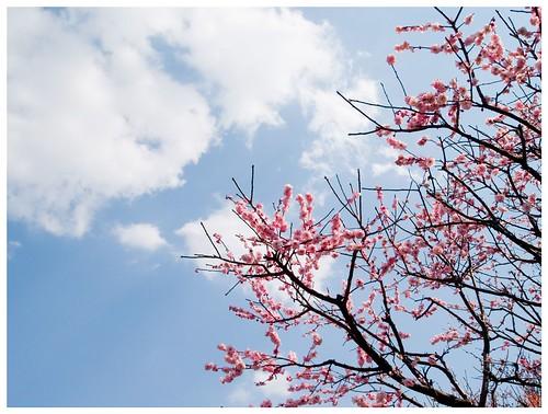 Japanese Apricot 090310 #05