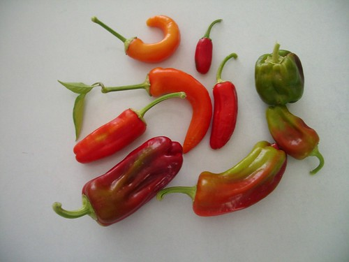 the capsicum harvest