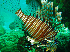 Lion Fish @ Koh Bida Nok (mbylund) Tags: ocean sea water thailand underwater diving scubadiving lionfish otw kohbida lantadivers