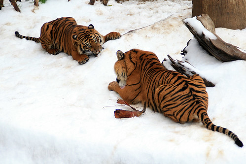 Two Tigers Enjoy Los Angeles Zoo's Snow Day