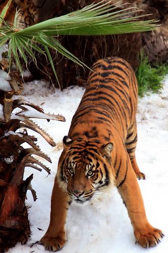 Sumatran Tiger in LA Zoo's Snow