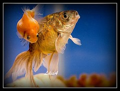 Get Off My Back, Please! (LelisA) Tags: goldfish acquarium magicmoment schooloffish naturesfinest blueribbonwinner anaheimca mywinners abigfave platinumphoto goldcollection goldstaraward underwaterfamily