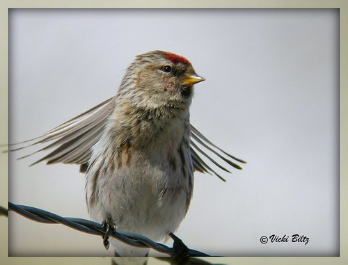 Common Redpoll 1