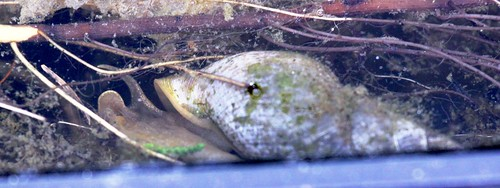 Great Pond Snail - Limnaea stagnalis