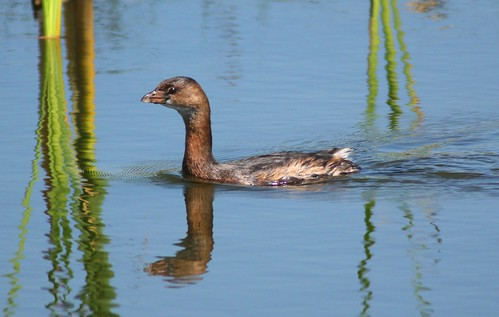 Pied-billed Grebe - 3/16/2009