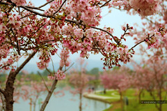 cherry blossoms (Kris Kros) Tags: lake its photoshop cherry photography spring high nikon dynamic time blossoms kris balboa range hdr kkg d300 cs4 photomatix kros kriskros 5xp kkgallery