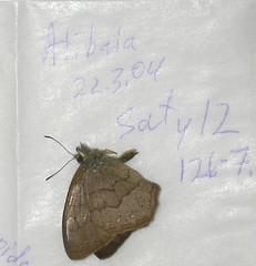 Paryphthimoides phronius