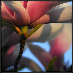 evening sun's paradise (kubse) Tags: pink blue sky flower color nature dof bokeh magnolia flowerotica colourartaward