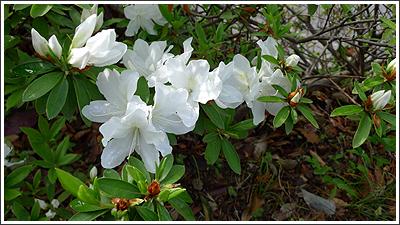 近所の花-2009年4月