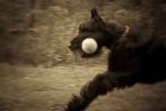 Max-1 (T. Scott Carlisle) Tags: dog max giant schnauzer derrick tsc tphotographic tphotographiccom tscarlisle tscottcarlisle