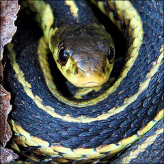 "~ ""Clear""ly Harmless ~ (ViaMoi) Tags: ontario black yellow snake gartersnake justkidding thamnophisbutleri snakesonaplane digitalcameraclub mywinners platinumphoto theunforgettablepictures viamoi goldstaraward 100commentgroup"