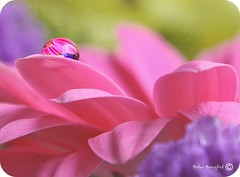 That's not my real reflection, she said. I've changed so much since then most people barely recognize me. (Helen Beresford) Tags: pink flower macro petals droplet storypeople bestofmywinners