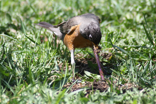 20090428_robins_worms_0028