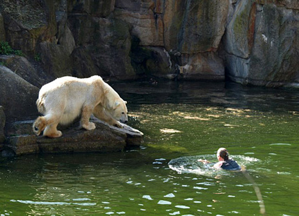Swimming towards the bear