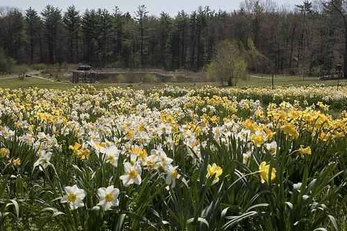 daffodils - flckr - Muffet