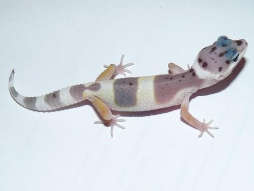 Super Hypo Snow Leopard Gecko