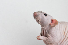 Vincenzo (KristyR929) Tags: pet rat dumbo explore fancy patchwork hairless vincenzo