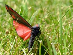 Cinnabar Moth (Weeping-Willow Photography) Tags: grass feeding eating moth cinnabar eatinggrass cinnabarmoth tyriajacobaeae feedingmoth