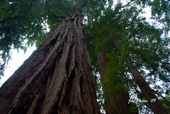 Marin 2 (Jay Pasion (On Vacation)) Tags: california trees nature muirwoods goldengatebridge marincounty redwood redwoodtrees stinsonbeach jaypasion