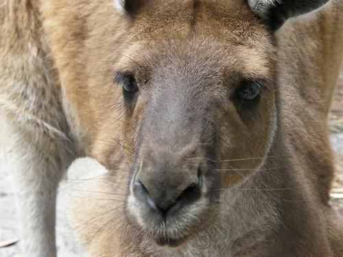 Aussie Beauty