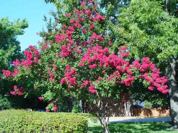crapemrytletrees.jpg