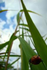 Hold on! (Tuesd@y) Tags: red sky green grass lady clouds bug insect groen blauw lieve sony bleu spots ladybug gras lucht rood insekt dsc beest lieveheersbeestje heerst beestje h7 stippen dsch7