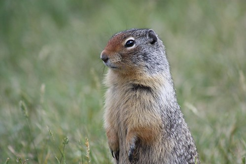 Ground Squirrel @Lake Minnewanka