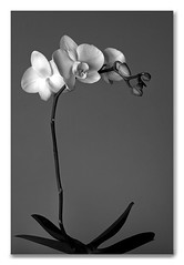 After Mapplethorpe (Chris of Arabia) Tags: bw plant orchid blackwhite robertmapplethorpe