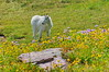 Mountain Goat Posing Amidst Wildflowers