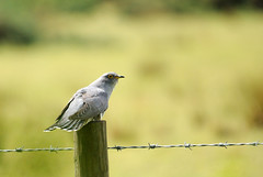 Cuckoo [Explored] (amylewis.lincs) Tags: england bird nature animal nikon britain wildlife sigma lincolnshire british cuculuscanorus 2011 d3000 150500mm