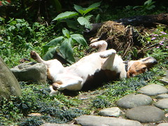 soaking up some sunshine (Yugan Dali) Tags: dog beagle taiwan  wulai  yumin ulay oxaliscorymbosa