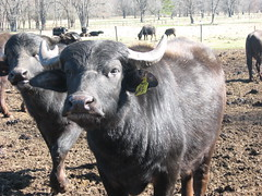 Friendly Bull- (WaterBuffalo) Tags: waterbuffalo buffalosteak rainforestanimals animalsmating waterbuffalopicture waterbuffaloforsale yearlingbuffalo