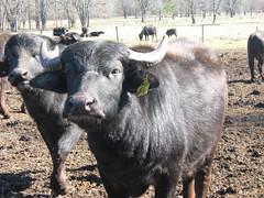 Friendly Bull- (WaterBuffalo) Tags: waterbuffalo buffalosteak rainforestanimals animalsmating waterbuffalopicture waterbuffaloforsale yearlingbuffalo