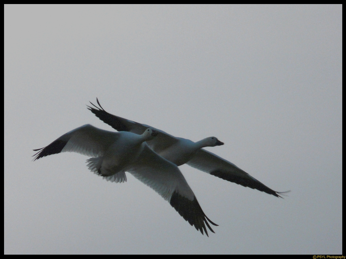 Snow Geese (Chen caerulescens) in flight