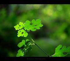 i love green  HBW  [ Explored ] ({ pranav }) Tags: b light green love nature beautiful leaves k backlight photography interesti