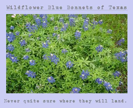 blue bonnets 1