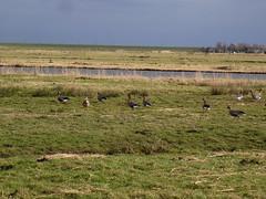 Geese Holysloot 2 (lottebelice) Tags: geese noordholland holysloot