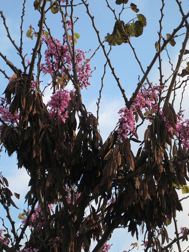 seed pods clinging to an orchid tree (B. variegata)