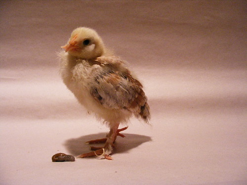 can i get a pooping chicks thread? 3358652534_389d9088a6