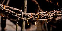Tradizione (mbeo) Tags: ticino foto photograph dettagli vite vigna tradizione mergoscia legatura mbeo uvaamericana mergosciainverno