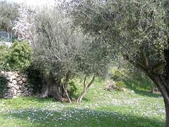 20090320 - Friday Olive Tree Blogging