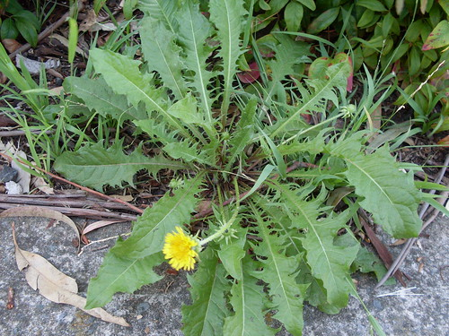 dandelion leaves, and a flower