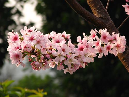 Sedahan bunga Sakura