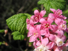 Flowering currant Photo