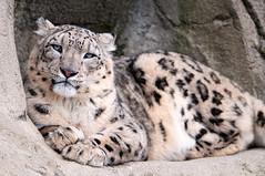 [フリー画像] [動物写真] [哺乳類] [豹/ヒョウ] [雪豹]       [フリー素材]