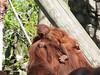 dhh aw (dmathew1) Tags: tampa florida lowryparkzoo babywhitetiger babymandrill babyorangatun babycolobusmonkey babyguenon