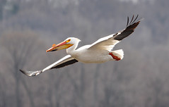 American White Pelican (Pelecanus erythrorhynchos), Lock and Dam 14 Pelican Watch (Rick_in_the_QC) Tags: bird bokeh wildlife iowa mississippiriver birdsinflight nikkor avian pleasantvalley quadcities birdinflight americanwhitepelican lockanddam pelecanuserythrorhynchos leclaire ilovebirds photoshopelements5 nikond90 lockanddam14 nikkor70300mmf4556gifedafsvrzoom pelicanwatch lockdam14 lockanddamno14 lockdamno14